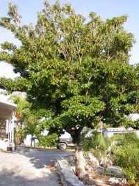200px-Sapodilla_tree